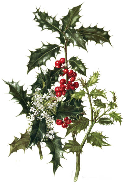 Ilex aquifolium / Holly, common holly, English holly, European holly / Падуб остролистный