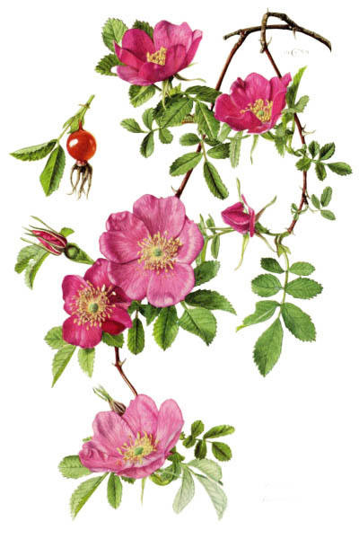 Rosa majalis / Cinnamon rose, double cinnamon rose / Шиповник майский