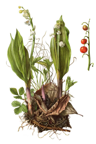 Convallaria majalis / Lily of the valley / Ландыш майский