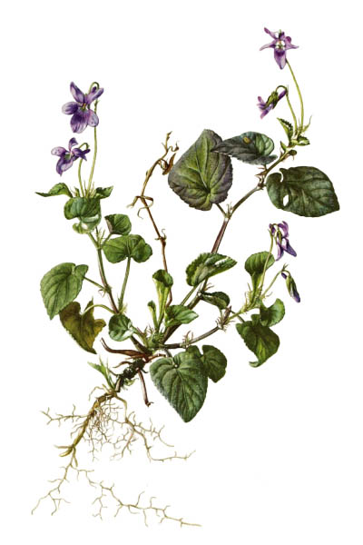 Viola reichenbachiana / Early dog-violet, pale wood violet / Фиалка Рейхенбаха