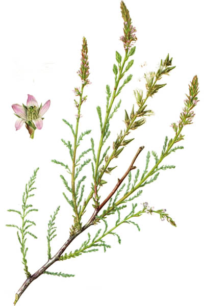 Myricaria germanica / German Tamarisk / Мирикария германская