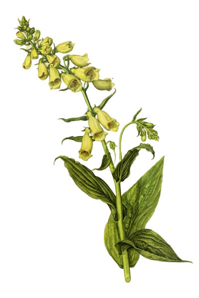 Digitalis grandiflora / Yellow foxglove, big-flowered foxglove, large yellow foxglove / Наперстянка крупноцветковая