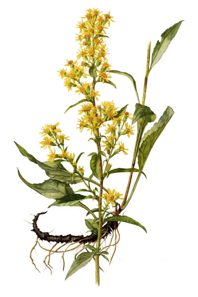 Solidago virgaurea / European goldenrod, woundwort / Золотарник обыкновенный