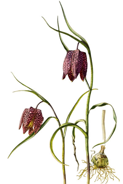 Fritillaria meleagris / Snake's head fritillary, snake's head, chess flower / Рябчик шахматный
