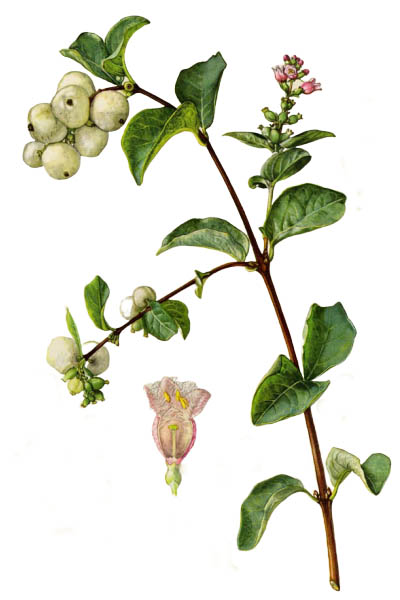 Symphoricarpos albus / Common snowberry / Снежноягодник белый