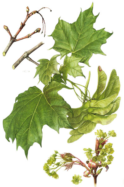 Acer platanoides / Norway maple / Клён остролистный