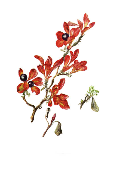 Arctous alpina / Alpine bearberry, mountain bearberry, black bearberry / Толокнянка альпийская