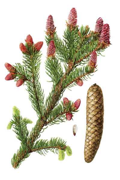 Picea abies / Norway spruce, European spruce / Ель обыкновенная