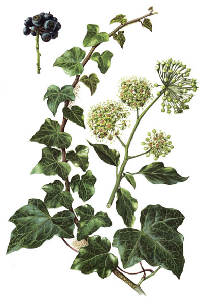 Hedera helix / Common ivy, English ivy, European ivy / Плющ обыкновенный
