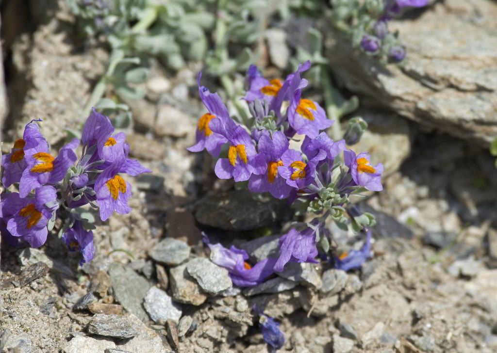 Растение растение для рокария