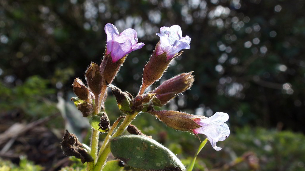Pulmonaria officinalis «Sissinghurst White» / Медуница лекарственная «Sissinghurst White»