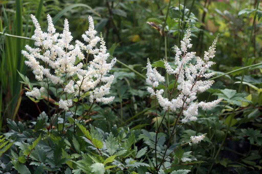 Astilbe x arendsii / Астильба Арендса