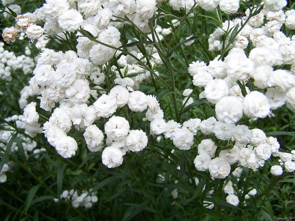 Жемчужница цветок фото